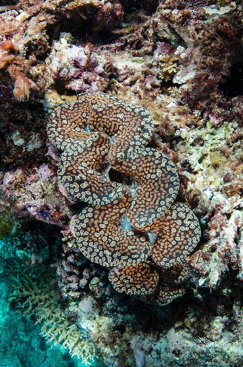 Boring Giant Clam (Tridacna crocea)<br /> Fiji. South Pacific