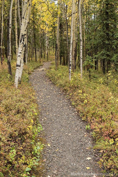 Rock Creek Trail winding through aspen forest, fall, Denali National Park, Alaska