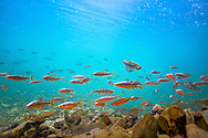 School of Scarlet Shiners<br /> <br /> Isaac Szabo/Engbretson Underwater Photography