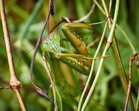 Praying Mantis. Image taken with a Nikon N1V3 camera and 70-300 mm VR lens
