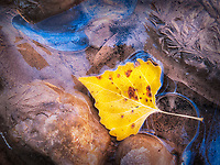 When photographing in Zion National Park in Utah the landscape is so pretty that it can be easy to miss the little details - ahhh but I love the little details.<br /> <br /> After a cold front moved through and dropped overnight temps into the upper 20's I knew there would be ice around and I found this bright yellow cottonwood leaf partially frozen along the shore of the Virgin River. The blue is from a reflection of the sky.