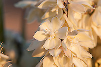 Closeup of the flowers of the Mojave yucca in the late afternoon golden light in Southern California. These flowers are pollinated at night by the Yucca moth (Tegeticula yuccasella), a species that depends on this plant for its survival. Not only will the moth  gather pollen, but she will lay her eggs in the ovaries of the flowers, and the larvae will feed directly on the developing fruit of the flowers, leaving some of the seeds to mature for the next generation of yucca plants.