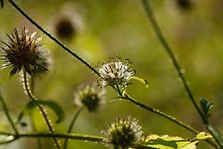 Kleine kaardebol, Dipsacus pilosus