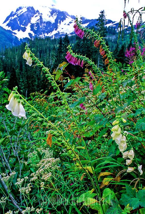 Foxgloves & Mt. Baker - Mt Baker N.F., Washington.