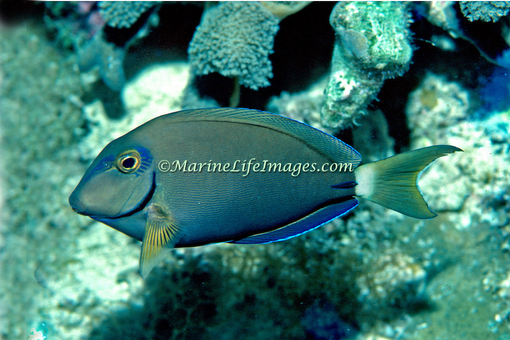 Ocean Surgeonfish inhabit reefs in Tropical West Atlantic; picture taken Grand Cayman.