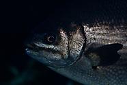 Kyphosus sydneyanus (Silver Drummer)