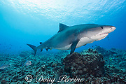 tiger shark, Galeocerdo cuvier, with two remoras clinging underneath, swims across shallow reef, accompanied by bluefin jacks, Caranx melampygus, Honokohau, Kona, Big Island, Hawaii, USA ( Central Pacific Ocean )