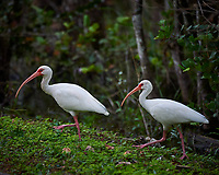 Pair of White Ibis walking at Clyde Butcher's Gallery and Swamp Cottage. Winter Nature in Florida Image taken with a Nikon D4 camera and 80-400 mm VRII telephoto zoom lens