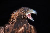 Mongolie, province de Bayan-Olgii, aigle royal // Mongolia, Bayan-Olgii province, Golden eagle