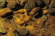 Northern Clearwater Crayfish<br /> <br /> ENGBRETSON UNDERWATER PHOTO