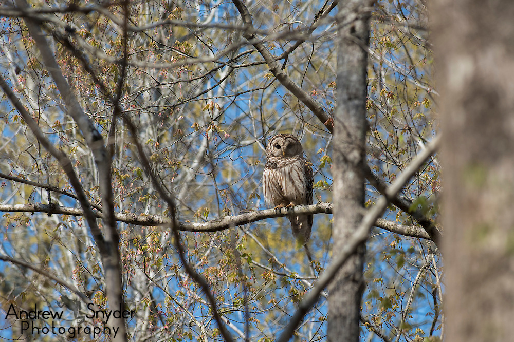 A barred owl (Strix varia) -  Water Valley, Mississippi