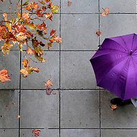Leaves along Locust Street in downtown Santa Cruz, California turn to autumn colors, as a pedestrian keeps dry with an umbrella during a period of drizzle.<br /> Photo by Shmuel Thaler <br /> shmuel_thaler@yahoo.com www.shmuelthaler.com