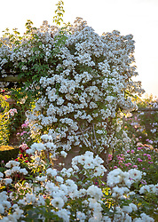 The Long Garden at David Austin Roses with Rosa 'Rambling Rector' AGM growing over a pergola