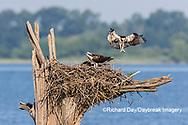 00783-01915 Osprey (Pandion haliaetus) landing at nest Rend Lake Jefferson Co. IL