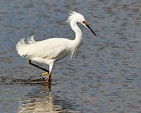 Snowy Egret (Egretta thula). Black Point Wildlife Drive, Merritt Island Wildlife Refuge. Merritt Island, Brevard County, Florida. Image taken with a Nikon D3 camera and 80-400 mm VR lens.