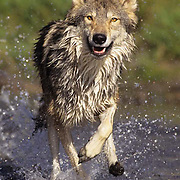 Gray Wolf, (Canis lupus) Adult running through river.  Captive Animal.
