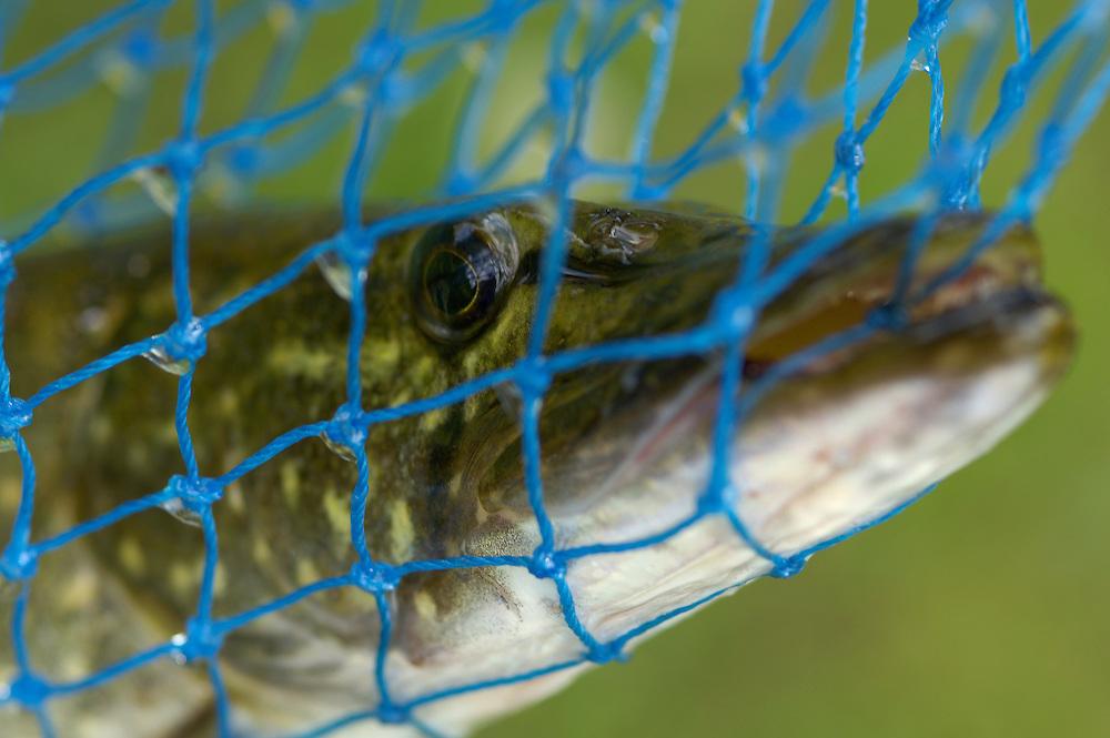 Pike (Esox lucius) caught in net sieve, Mikkeli, Finland