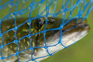 Pike (Esox lucius) caught in net sieve, Mikkeli, Finland