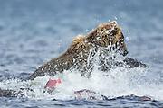 Alaskan brown bear fishing for red salmon