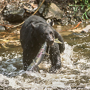When it comes to food, black bears are creatures of opportunity. There are certain patterns of food-seeking which they follow. Upon emerging in the spring, freshly sprouted green vegetation is their main food item, but they will eat nearly anything they encounter. Winter-killed animals are readily eaten, and in some areas black bears have been found to be effective predators on new-born moose calves. As summer progresses, feeding shifts to salmon if they are available, but in areas without salmon, bears rely on vegetation throughout the year. Berries, especially blueberries, ants, grubs, and other insects help to round out the black bear's diet.<br /> For most of the year, black bears are solitary creatures, except from June through July when mating takes place. The cubs are born in their dens following a gestation period of about seven months. The cubs are born blind and nearly hairless, weighing in under a pound. One to four cubs may be born, but two is most common. Cubs remain with their mothers through the first winter following birth.As with brown bears, black bears spend the winter months in a state of hibernation. Their body temperatures drop, their metabolic rate is reduced, and they sleep for long periods. Bears enter this dormancy period in the fall, after most food items become hard to find. They emerge in the spring when food is again available. Occasionally, in the more southern ranges, bears will emerge from their dens during winter. In the northern part of their range, bears may be dormant for as long as seven to eight months. Females with cubs usually emerge later than lone bears. Dens may be found from sea level to alpine areas. They may be located in rock cavities, hollow trees, self-made excavations, even on the ground. In Southeast Alaska, black bears occupy most islands with the exceptions of Admiralty, Baranof, Chichagof, and Kruzof; these are inhabited by brown bears. Both bear species occur on the southeastern mainland.