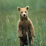 Alaskan Brown Bear (Ursus middendorffi) cub standing up in the grass. Summer in Katmai National Park, Alaska