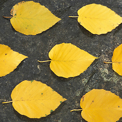 Deerfield, NH.Yellow Birch leaves, Betula alleghaniensis.  Fall foliage.  Pawtuckaway State Park..
