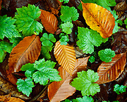 Autumn leaves of American Beech, Fagus grandifolia, on forest floor near White River, Green Mountain National Forest, Vermont.