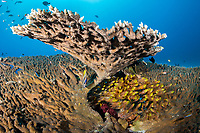 Golden Sweepers hide amongst the fingers of a large Table Coral<br /> <br /> Shot in Indonesia