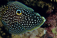 Comet (Calloplesiops altivelis aka Calloplesiops argus).  When alarmed, this fish sticks its head into a hole and leaves its tail exposed, mimicing the appearance of a moray eel (specifically, it mimics the Whitemouth Moray, Gymnothorax meleagris).  This image shows the fish in the head in hole positiion, mimicing a moray.