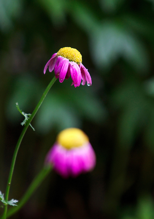 This flower photograph was taken after a rain shower in Hartland, Wisconsin.  The photo was taken as a water droplet was about to fall off a pink and yellow flower.