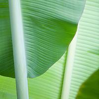 close-up of banana leaves in plantation