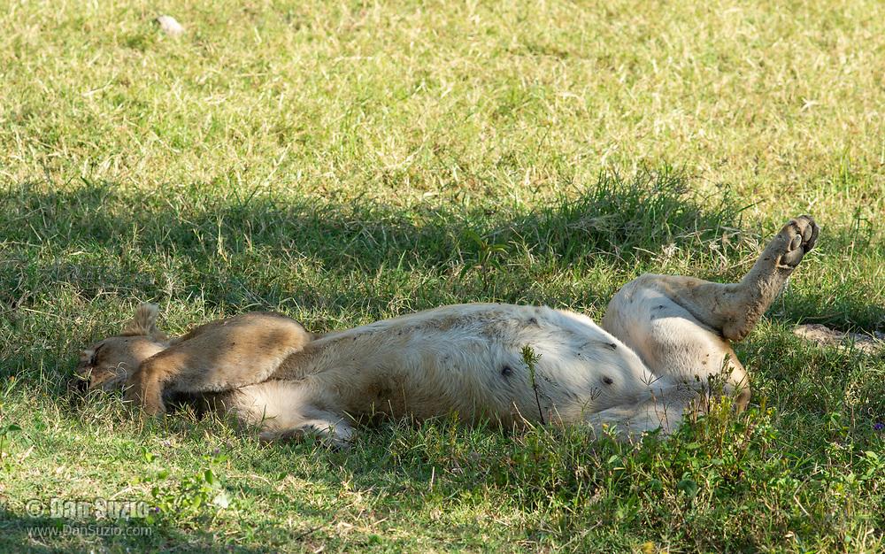 A female Lion, Panthera leo  melanochaita, rests in the shade of a tree in Ngorongoro Crater, Ngorongoro Conservation Area, Tanzania
