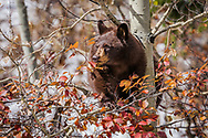 A brown phase black bear using an aspen tree ladder to dine on choke cherries in Grand Teton National Park