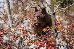 A brown phase black bear using an aspen tree ladder to dine on choke cherries in Grand Teton National Park