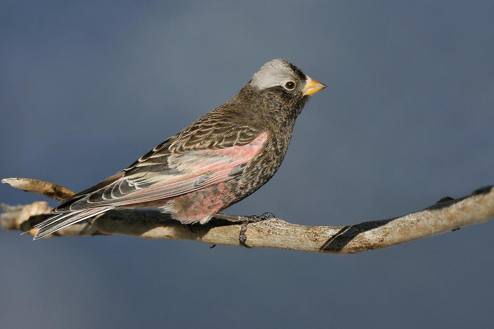 Black Rosy-finch - Leucosticte atrata - male