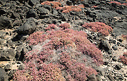 Pink red prostrate succulent plant Mesembryanthemum nodiflorum growing in rocky coastal environment, La Isleta,  Lanzarote, Canary islands, Spain