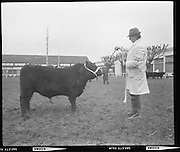 R.D.S. Bull Show..1971..16.02.1971..02.16.1971..16th February 1971..The Royal Dublin Society (RDS) Bull Show got under way in Dublin today with the judging of Hereford, Friesian and Aberdeen Angus bulls. As well as the judging of bulls there was also a competition for Irish large White and Landrace pigs..Image shows an Aberdeen Angus bull being paraded, by his handler, before the judging panel..