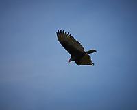 Turkey Vulture soaring. Biolab Road, Merritt Island National Wildlife Refuge. Image taken with a Nikon Df camera and 300 mm f/4  lens (ISO 110, 300 mm, f/5.6, 1/1250 sec).