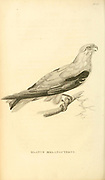 black-winged kite (Elanus caeruleus) (here referred to as elanus melanopterus), also known as the black-shouldered kite is a small diurnal bird of prey in the family Accipitridae from volume XIII (Aves) Part 2, of 'General Zoology or Systematic Natural History' by British naturalist George Shaw (1751-1813). Griffith, Mrs., engraver. Heath, Charles, 1785-1848, engraver. Stephens, James Francis, 1792-1853 Published in London in 1825 by G. Kearsley