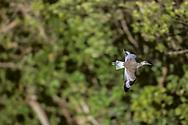 Willet in flight with mangrove background, Sanibel island, Florida, © David A. Ponton
