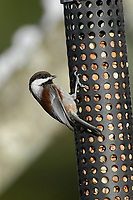 Chestnut-backed Chickadee (Poecile rufescens), eating peanuts from a feeder Courtenay, British Columbia, CanadaChestnut-backed Chickadee (Poecile rufescens),     Photo: Peter Llewellyn