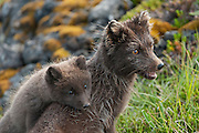 Wild Arctic fox in Iceland. Sometimes called mountain-fox.