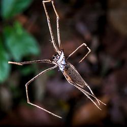 """""""Aranha (Aracnídeo) fotografado em Linhares, Espírito Santo -  Sudeste do Brasil. Bioma Mata Atlântica. Registro feito em 2014.<br /> <br /> <br /> <br /> ENGLISH: Spider photographed in Linhares, Espírito Santo - Southeast of Brazil. Atlantic Forest Biome. Picture made in 2014."""""""