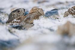 THEMENBILD - ein Murmeltier im Schnee . Die Hochalpenstrasse verbindet die beiden Bundeslaender Salzburg und Kaernten und ist als Erlebnisstrasse vorrangig von touristischer Bedeutung, aufgenommen am 27. Mai 2020 in Fusch a.d. Glstr., Österreich // a marmot in the snow. The High Alpine Road connects the two provinces of Salzburg and Carinthia and is as an adventure road priority of tourist interest, Fusch a.d. Glstr., Austria on 2020/05/27. EXPA Pictures © 2020, PhotoCredit: EXPA/ JFK