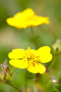 Meadow Buttercup, Ranunculus acris,  Fagaras Mountains, Transylvanian Carpathians Alps, Romania