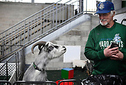 Animal trainer Ted Krogh looks at Hartford Yard Goats mascot Fancy Pants, left, while in a pen together at Dunkin' Donuts Park during a game against the Richmond Flying Squirrels in Hartford, Conn.