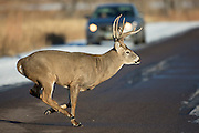 Colorado whitetail buck crossing road during the autumn rut