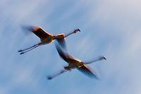 Greater Flamingos (Phoenicopterus roseus) in flight, motion blur, <br /> Camargue, France