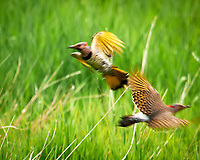 """""""Yellow-shafted"""" Northern Flicker (Colaptes auratus). Sourland Mountain Preserve. Image taken with a Nikon D300 camera and 80-400 mm VR lens."""