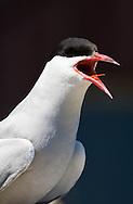 Arctic Tern (Sterna paradiseaea) - shooting at eye level is more dramatic